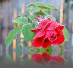 Rose Sympathie
