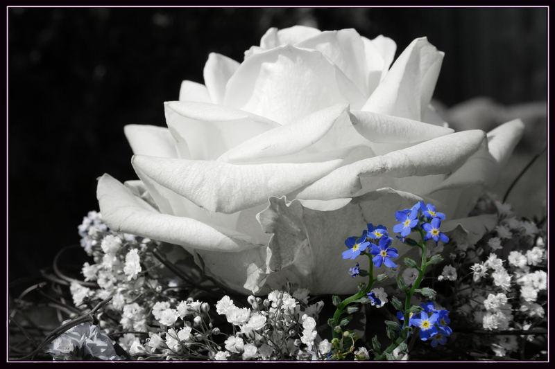 Rose Teil III
