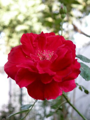 Rose to Fotocommuinity