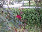 Rose très Rouge