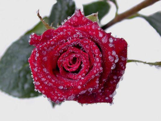 Rose und Eis