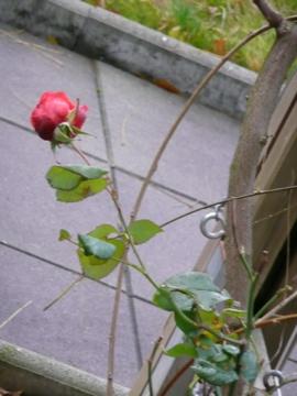 Rose und rechtswendender Trieb eines gewöhnlichen Blauregens (Wisteria sinensis Prolific)