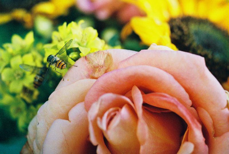 Rose und Wespe