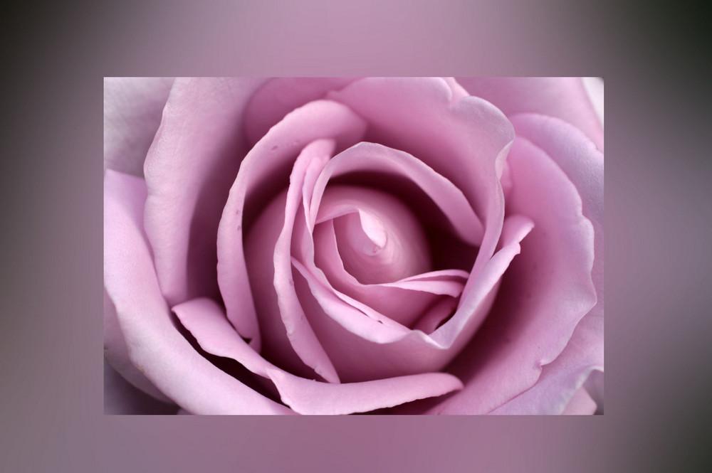 Rose Verträumt