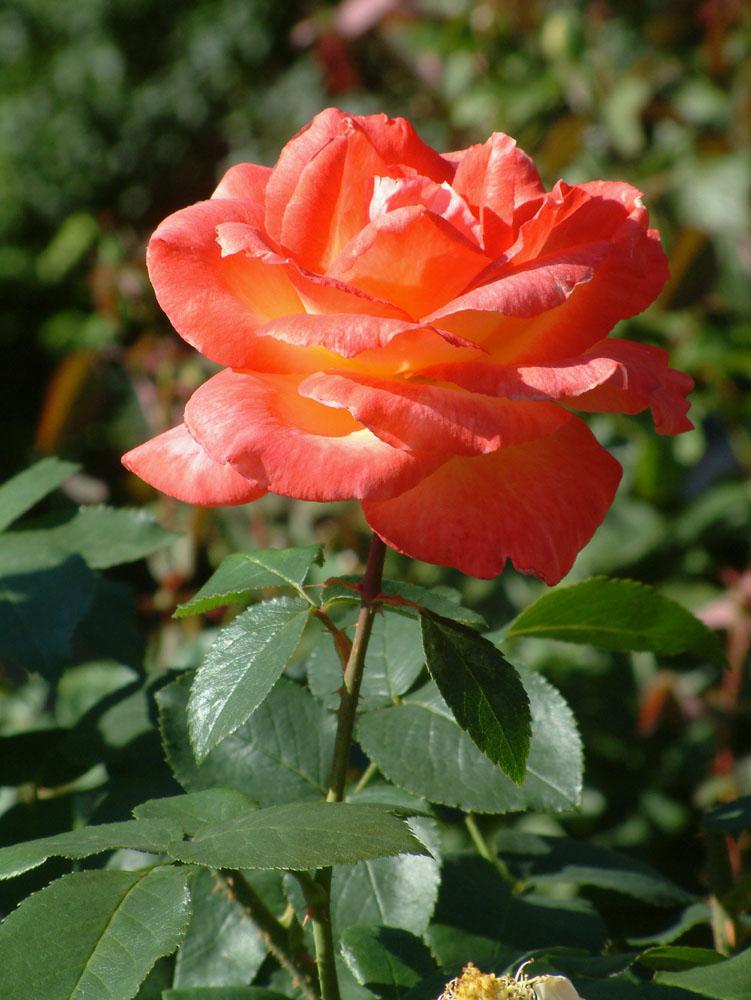 Rose - Volksgarten