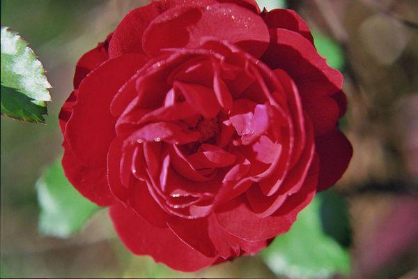 Rose voll erblüht