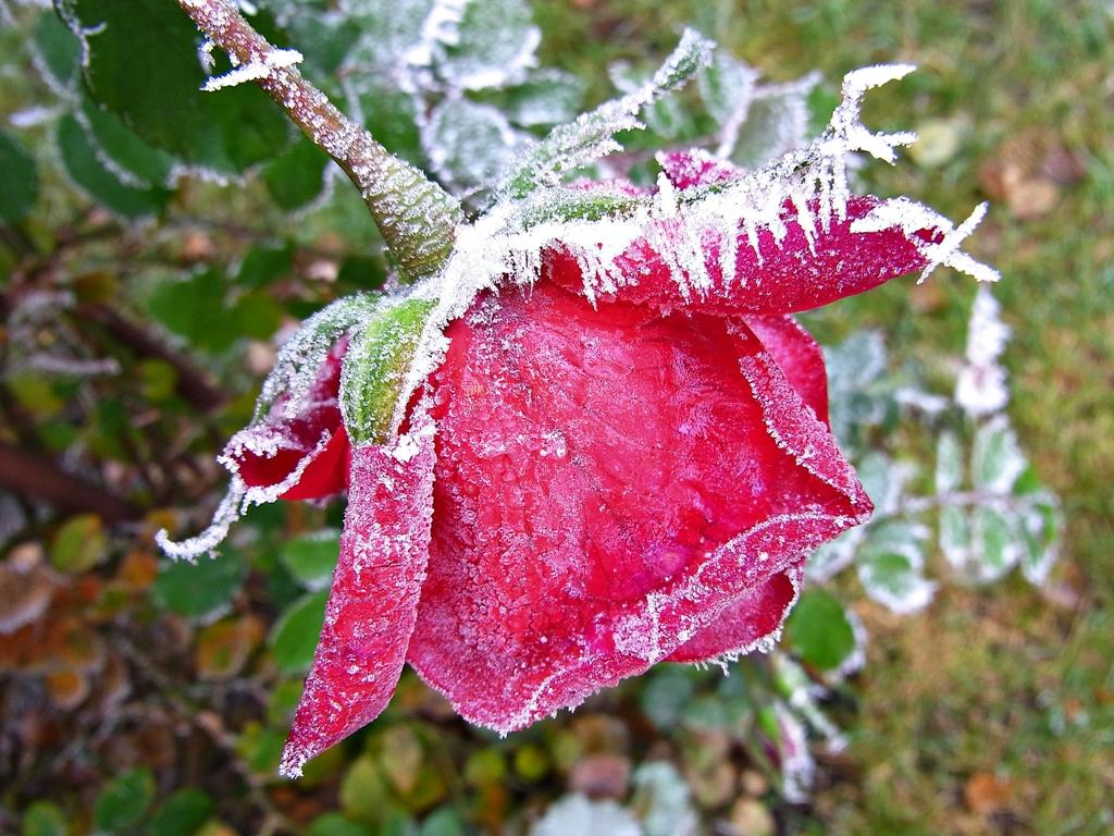Rose vom Baikal