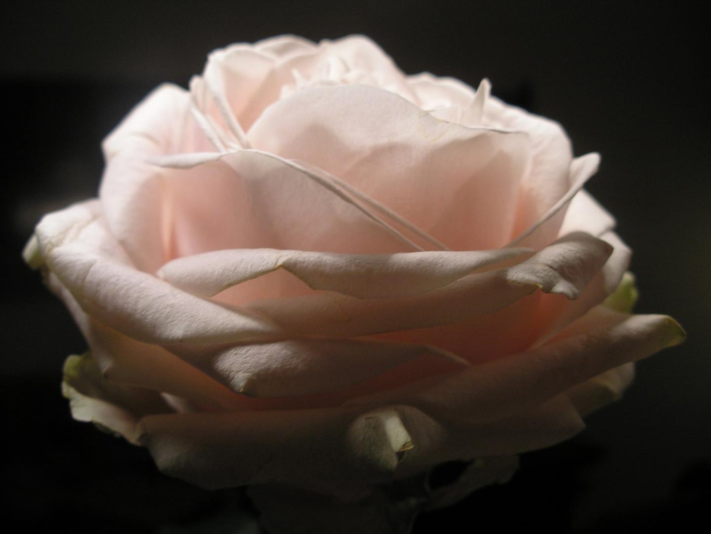 rose von der seite