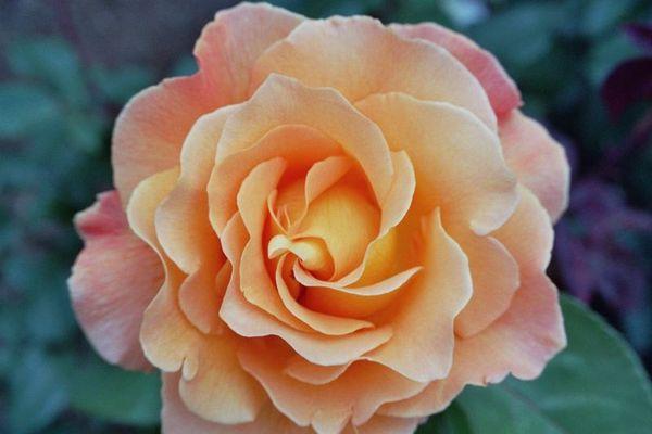 Rose von Odda