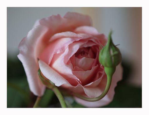 Rose von unserem Balkon