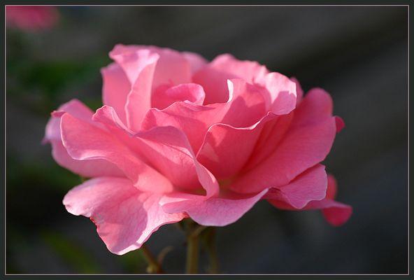Rose von Witthörn