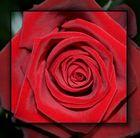 Rose wie aus Samt