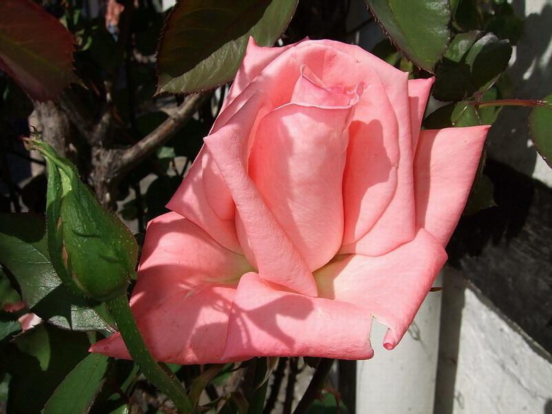Rose, wie man sie immer anschauen kann