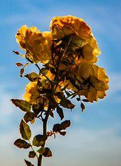 Rose will in den Himmel