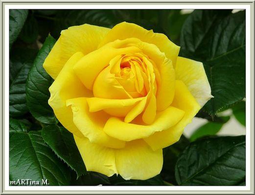 Rose zentral  (mit Gedicht)