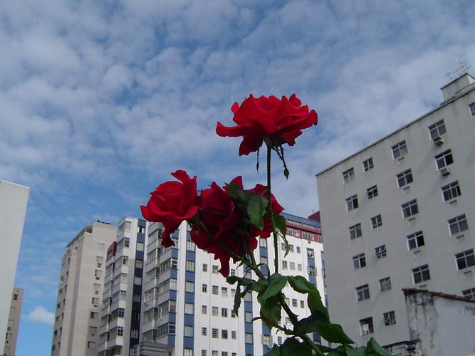 Rose zum Himmel