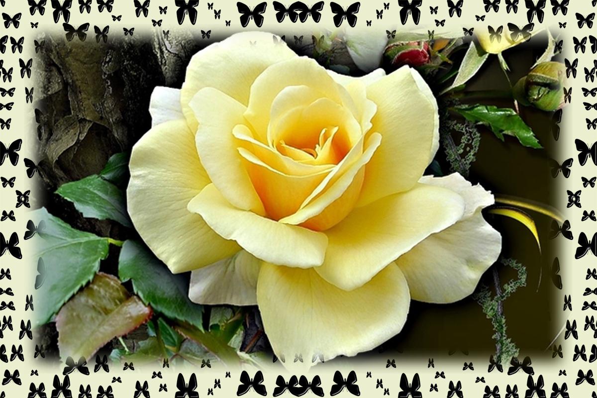 Rose zum Mittwoch