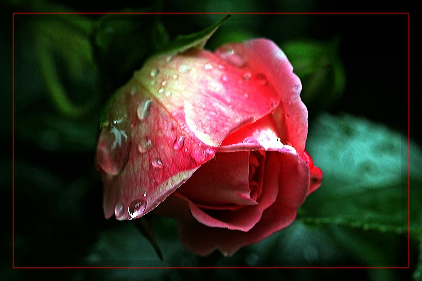 Rose zum Sonntag