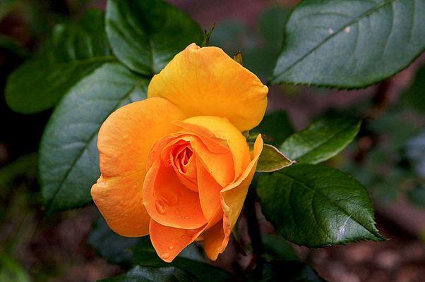 Rose zum Walentinstag