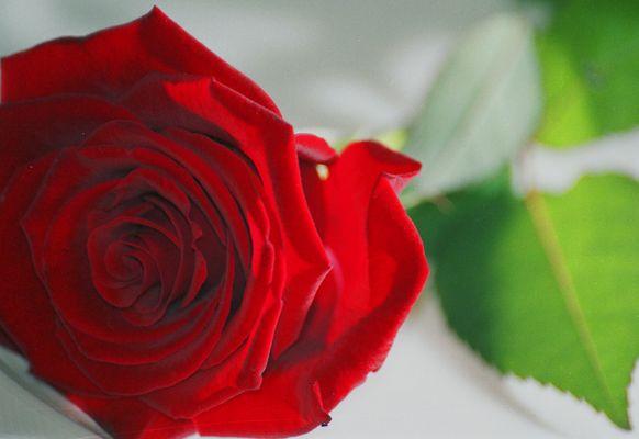 Rose01-25