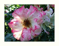 Rose_01