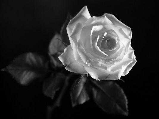 Rose_02 in schwarz-weiss