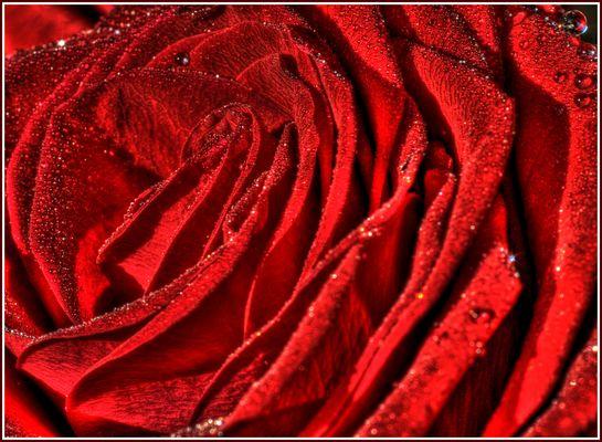 Rosea rosea rosam