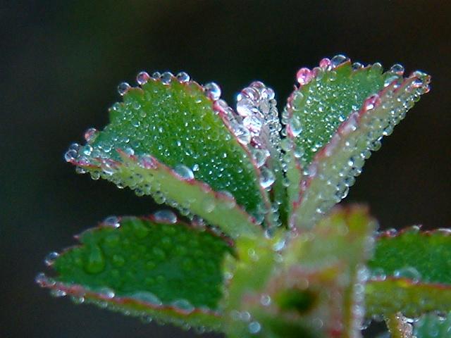 rosée d' hiver