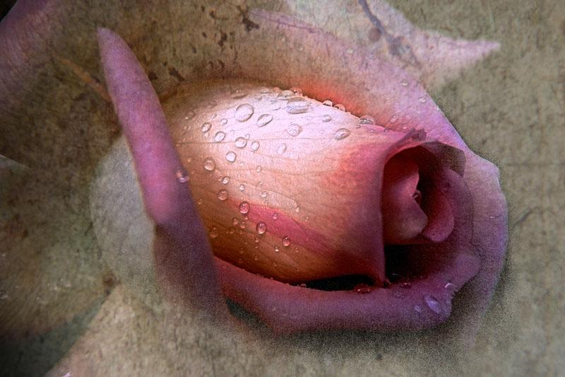 Rosée