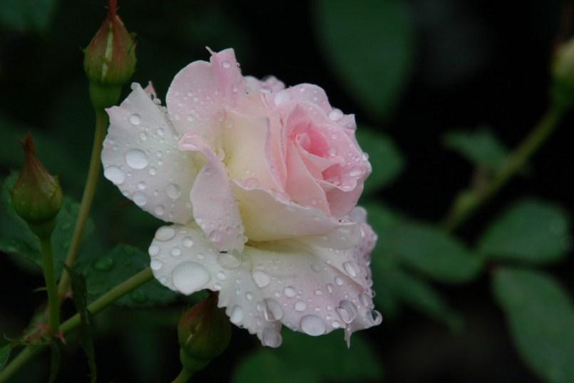 rosée du matin