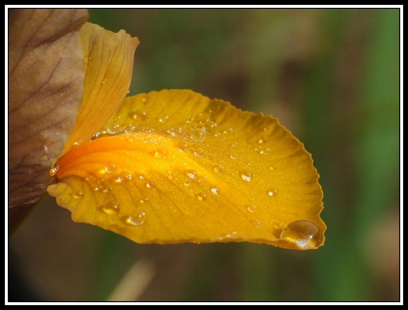 Rosée sur une fleur d'iris
