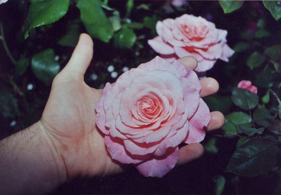 Rose+Hand