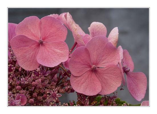 Rose_hortensia