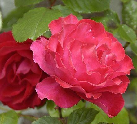 Rosen aus Amsterdam...