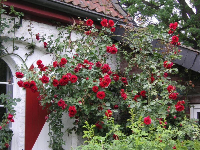 Rosen beim Gutshof Heimendahl