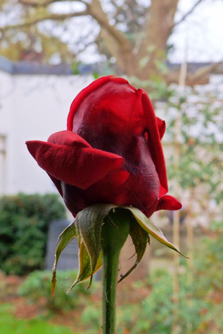 Rosen blühen auch im November