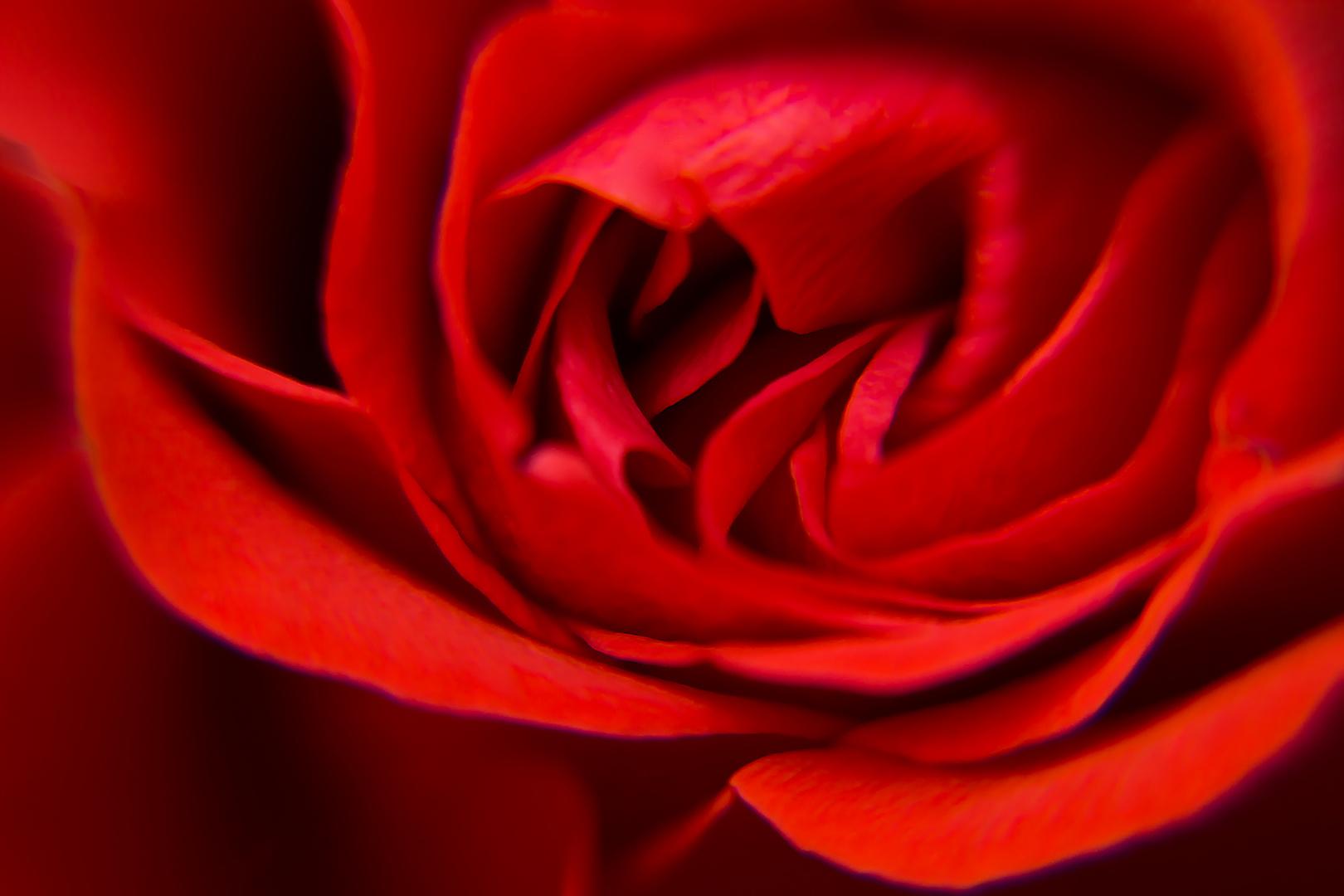 Rosen - Blume der Liebe