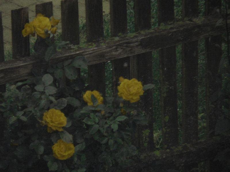 Rosen, echt oder nicht echt?!