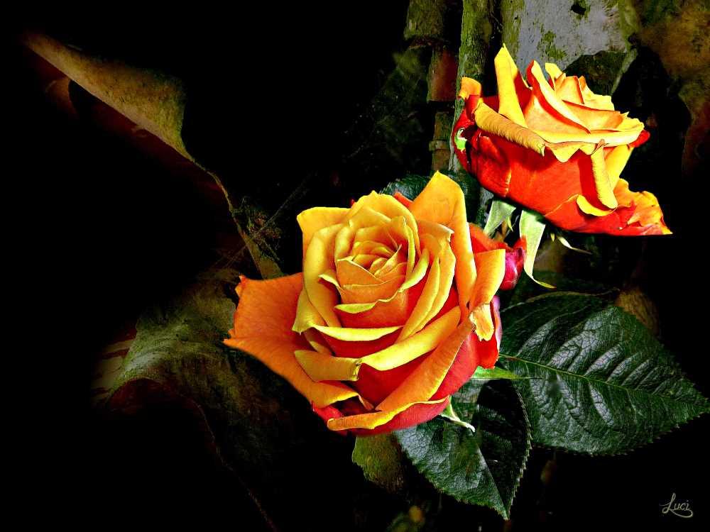 Rosen ein Lichtblick.