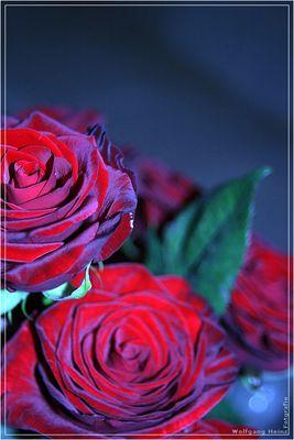 rosen einmal anders