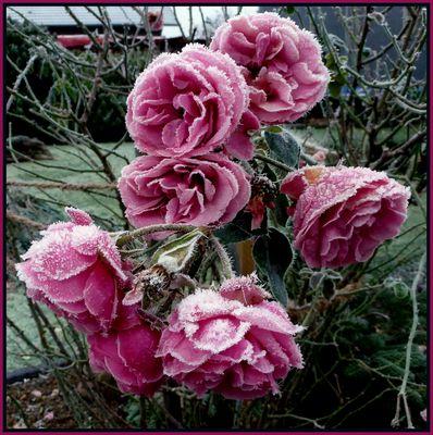 -Rosen fein dekoriert-