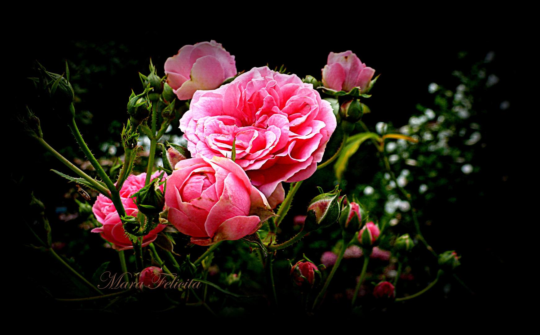 ROSEN FÜR DICH Foto & Bild | pflanzen, pilze & flechten, blüten ...