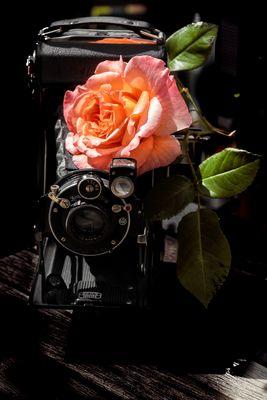* Rosen für die Fotografie