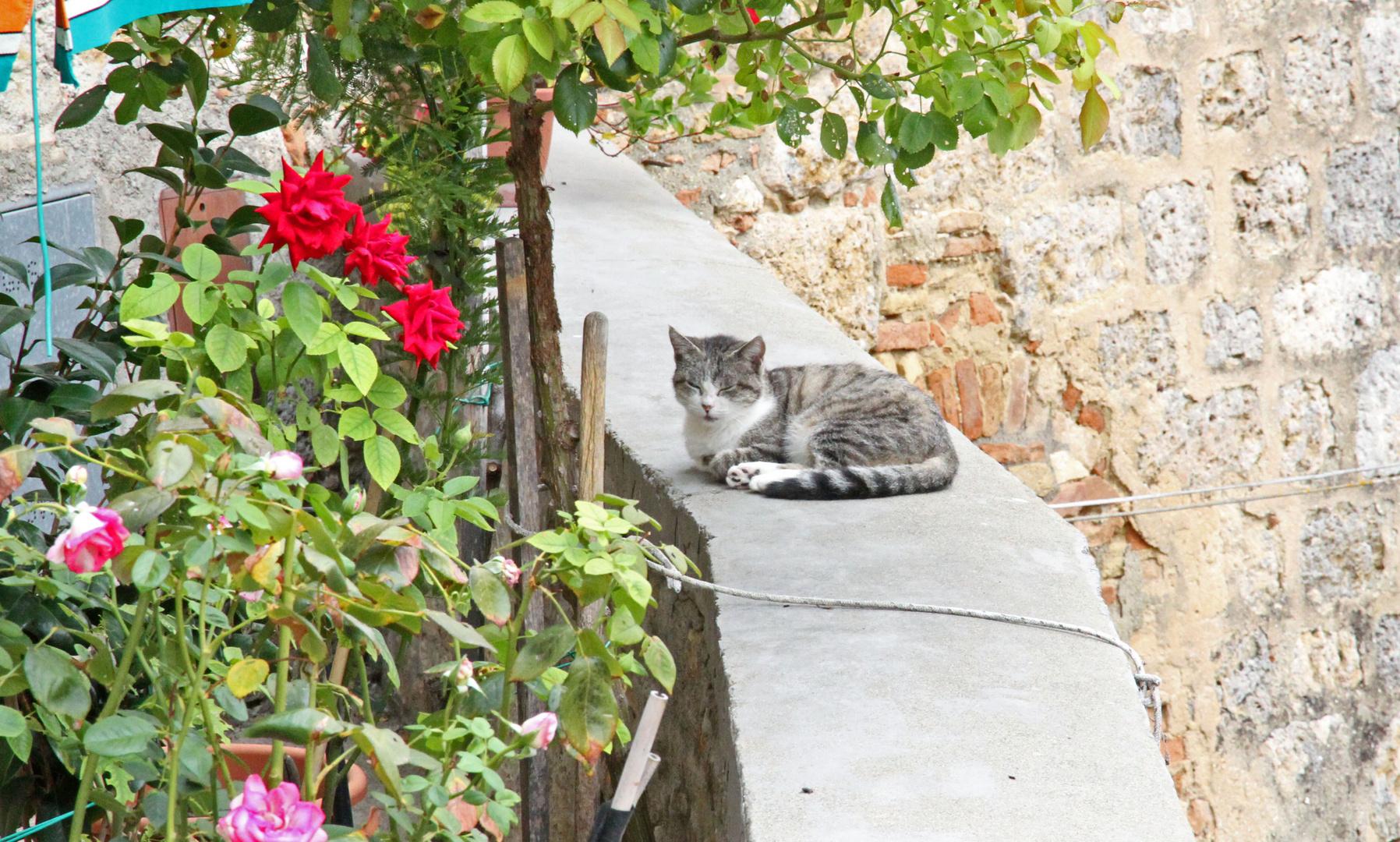 Rosen für die Katze