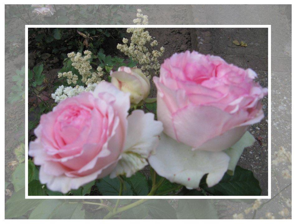 Rosen für die neue Woche