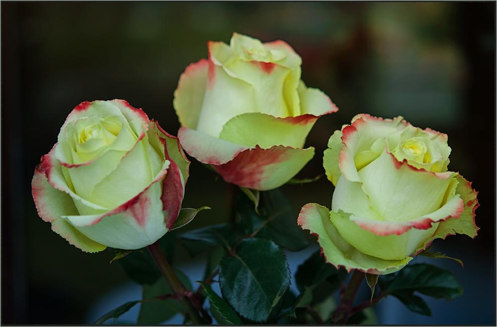 Rosen für Euch...