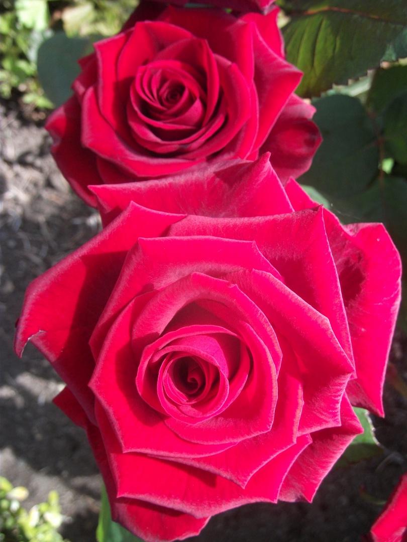 Rosen für Heike