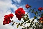 Rosen gen Himmel