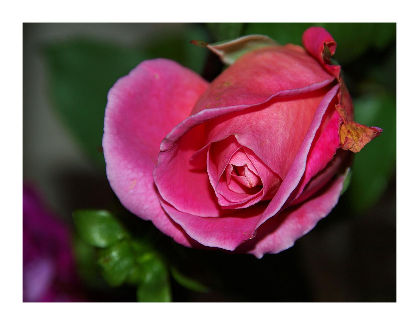 Rosen-gruss an alle die vielleicht bei mir reinschauen! Schönen sonntag wünscht euch noch - lucia