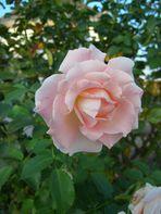 ROSEN HABEN DORNEN, doch sie blühen so wunderschön.